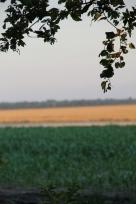 Corn is King/ Wheat fields